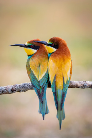 Couple of bee-eaters on a branch falling in love