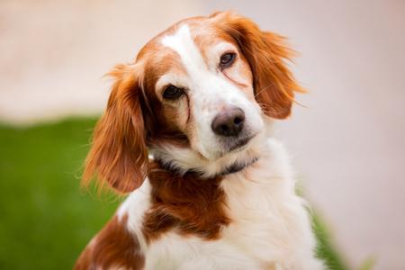 Piękny portret białego i brązowego psa na zewnątrz Zdjęcie Seryjne