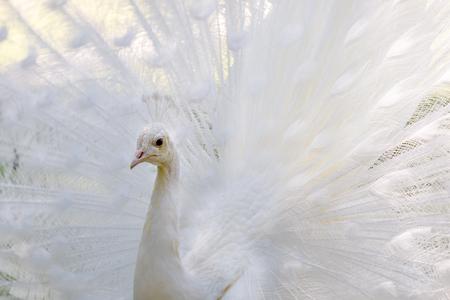Amazing white peacock opening its beautiful tail