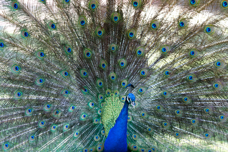 Amazing peacock during his exhibition for mating