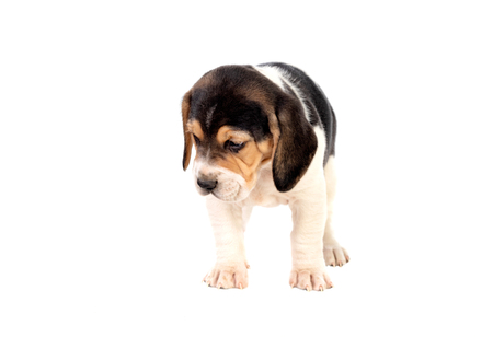 Beautiful beagle puppy brown and black isolated on a white background 写真素材