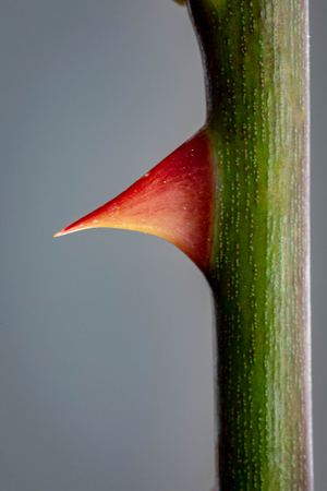Rose Thorn Close up on a grey background Archivio Fotografico
