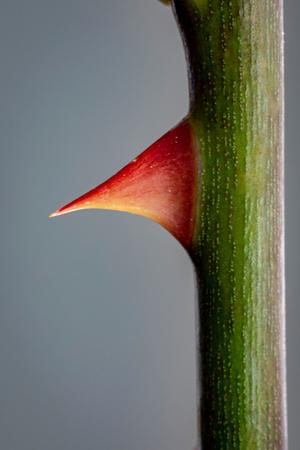 Rose Thorn Nahaufnahme auf grauem Hintergrund