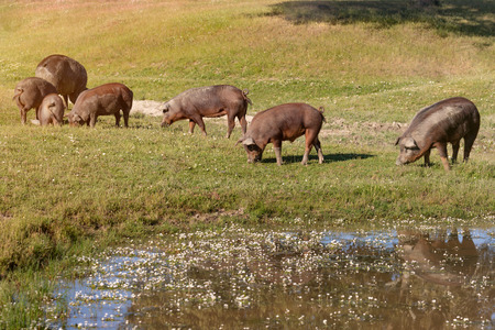 Iberian pigs grazing in the countryside at Spring
