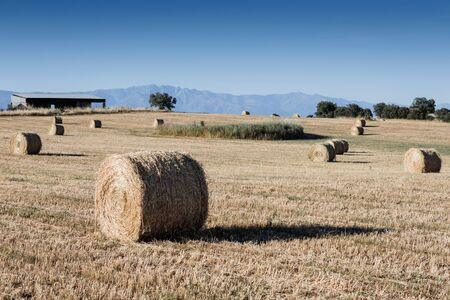 Rolled crop straw in the dry field. Summer view Stock Photo