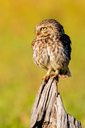 Cute owl, small bird with big eyes in the nature Foto de archivo - 133514390