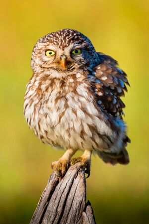 Cute owl, small bird with big eyes in the nature Foto de archivo - 133514333