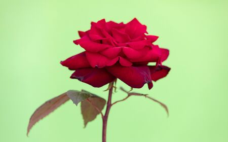Delicated Red Rose close up on a green background Banque d'images - 133514518