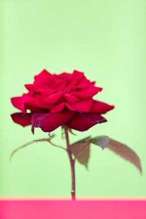 Delicated Red Rose close up on a green background Banque d'images - 133514534