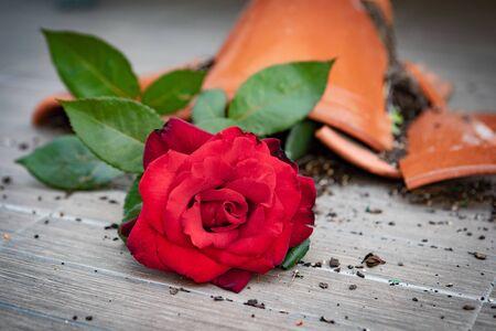 Broken flowerpot with a red rose on the floor Banco de Imagens