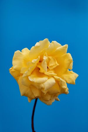 Beautiful yellow flower on a blue background Banque d'images - 133514639