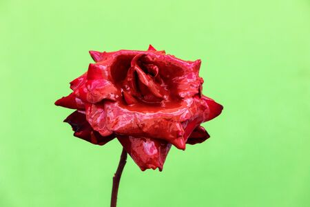 Delicated Red Rose close up on a green background Banque d'images - 133514673