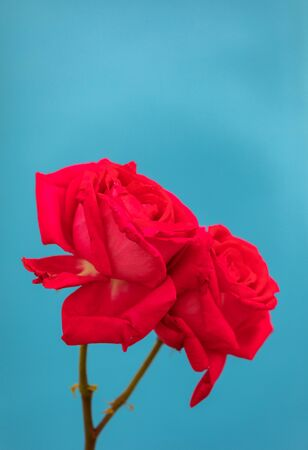 Beautiful red flower on a blue background Banque d'images - 133514684