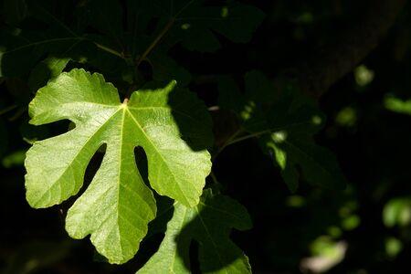Sunny green fig leaf with shadows
