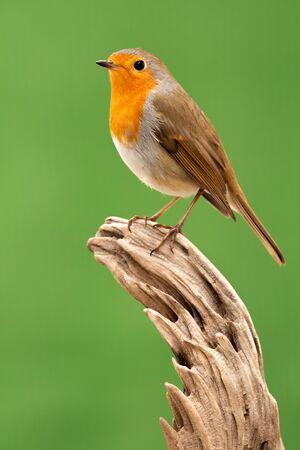 Pretty bird with a nice orange red plumage on a branch Foto de archivo - 133514709