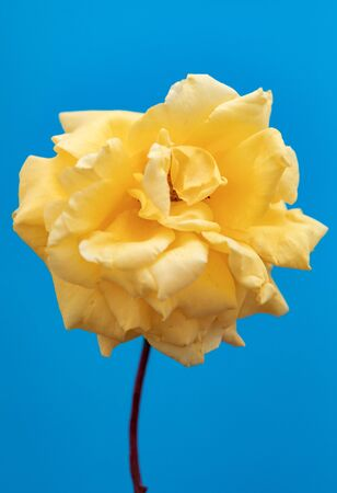 Beautiful yellow flower on a blue background Banque d'images - 133514847