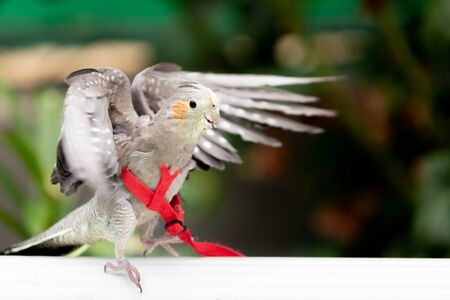 Tropical captive parrot with red leash Reklamní fotografie