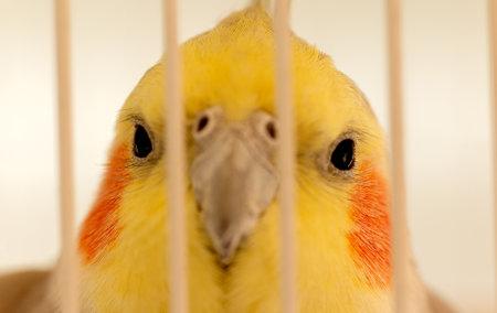 Porträt einer Papageiennymphe mit gelbem Gesicht in einem Käfig