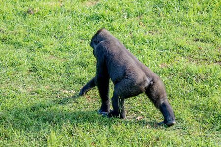 Adult gorilla walking on the grass in a meadow