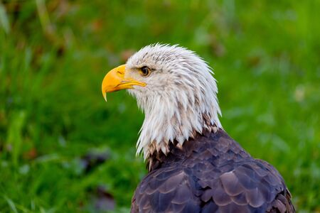 Portrait of a american eagle in the nature. Stock Photo