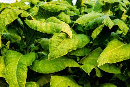 Big Wrinkled Leaves of Tobacco plants. Tobacco plantation