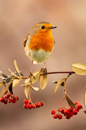 Pretty bird with a nice orange red plumage on a branch full of red berries
