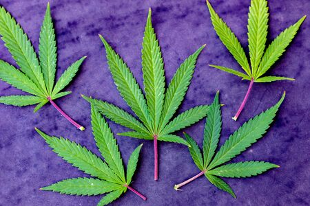 Medical Cannabis leaves on a purple background