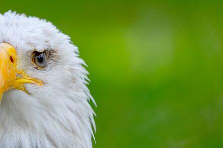 Portret orła amerykańskiego w przyrodzie.