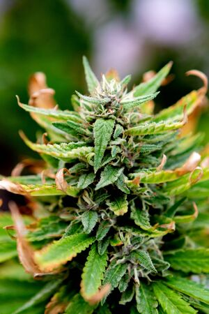 Medical Cannabis crop almost ready for harvesting on a legal grow farm