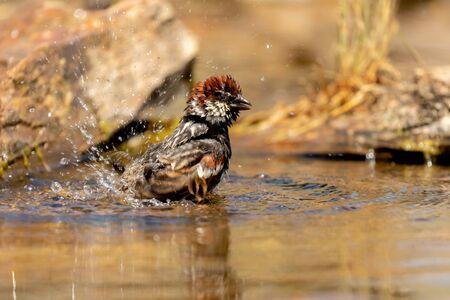 Beautiful brown sparrow taking a bath in the river Banco de Imagens