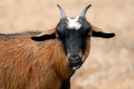 Small african goat, a funny animal with hurns
