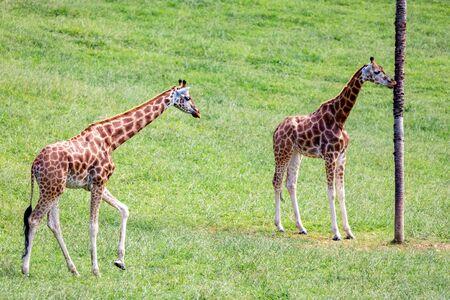 Amazing big giraffes free in the nature