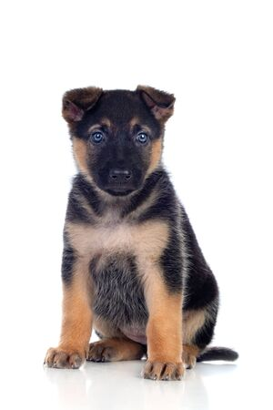 Nice puppy with blue eyes isolated on a white background Reklamní fotografie