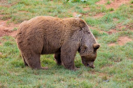 Amazing brown male bear in the mountain