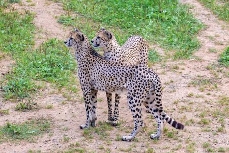 Two cheetahs together in the meadow Stock Photo