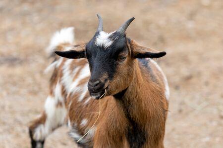Kleine afrikanische Ziege, ein lustiges Tier mit Hurn