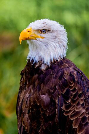 Portrait of a american eagle in the nature.