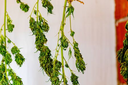 Branches of cannabis drying on a white background Stock fotó