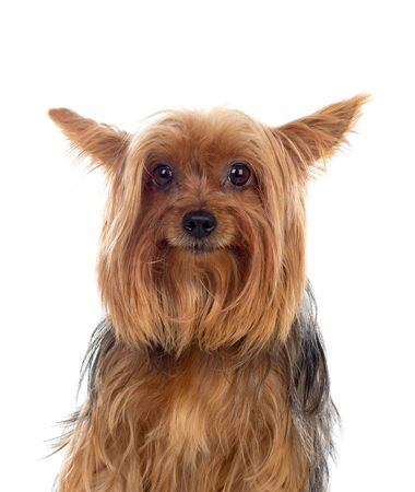 Funny small yorkshire dog isolated on a white background Stock Photo