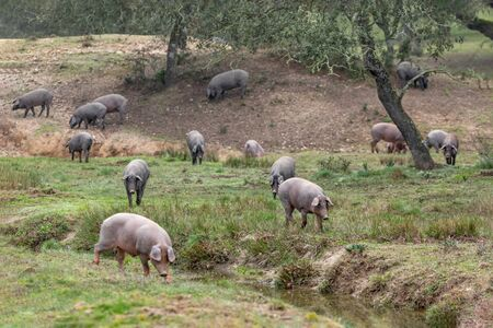 Iberian pigs grazing in the countryside