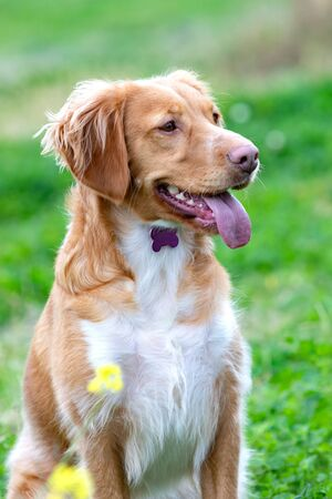 Beautiful brown breton dog in a meadow with many yellow flowers
