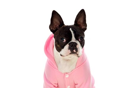 Boston terrier wearing a pink coat isolated on a white background