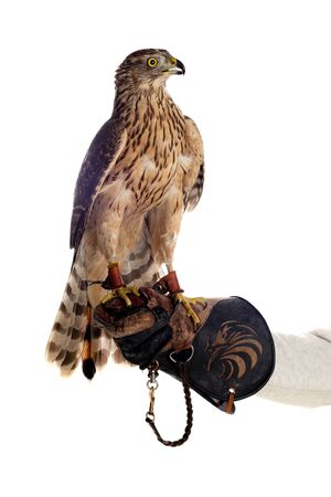 The art of falconry. Azor on the falconer's glove Stock Photo