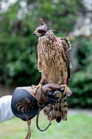 The art of falconry. Azor on the falconer's glove Archivio Fotografico