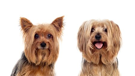 Yorkshire dogs looking at camera isolated on a white background Stock Photo