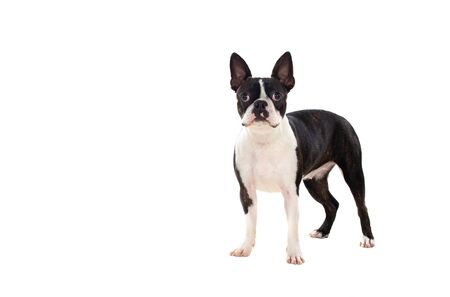 Portrait in Studio of a cute boston terrier isolated on a white background