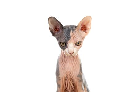 Slim cat without hair