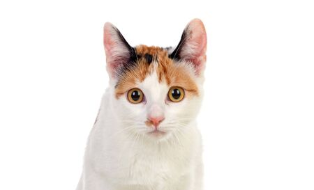 Cat with beautiful brown eyes isolated on a white background