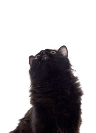 Adorable Persian cat isolated on white background