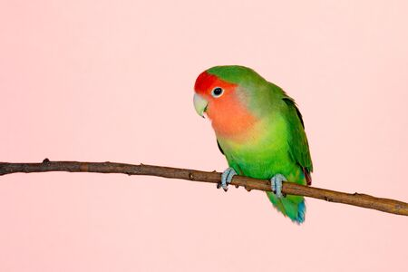 Beautiful lovebird on a branch isolated on a pink background 版權商用圖片